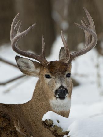 venado cola blanca: Big Buck en la nieve