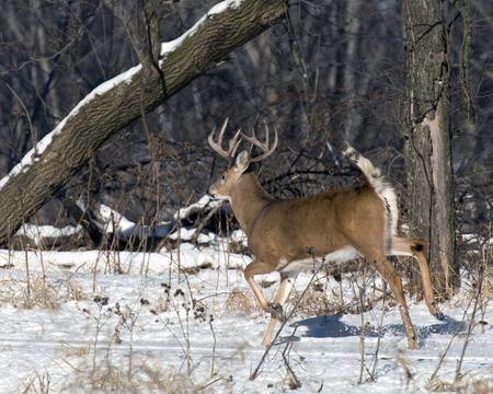 venado cola blanca: Ciervos correr enormes Foto de archivo