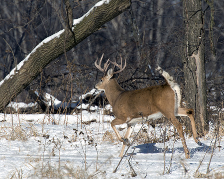 buck: Huge running deer