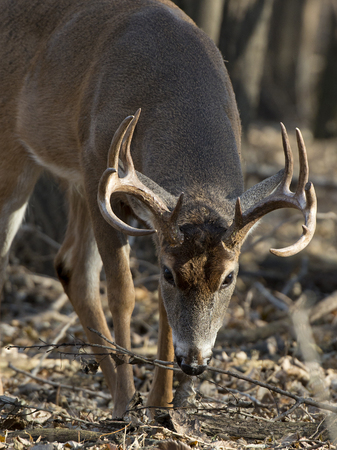 Big Buck with its head down Stock Photo - 24609656