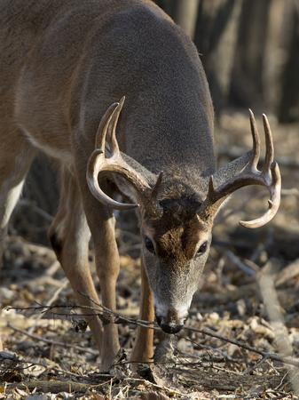 Big Buck with its head down Stock Photo - 24609656
