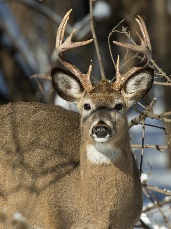venado cola blanca: Gran Buck mirarte
