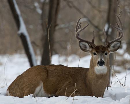 Large Bedded Buck Standard-Bild