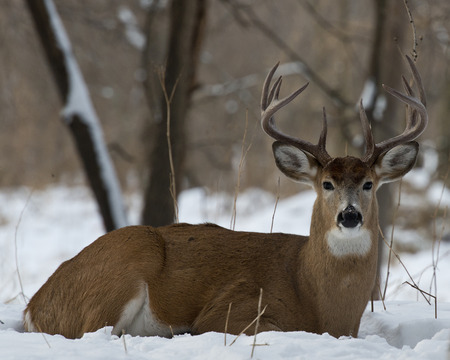 deer hunting: Large Bedded Buck Stock Photo