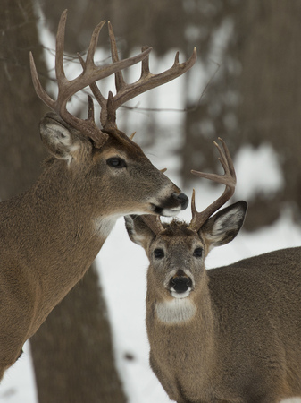 Pair of Bucks photo