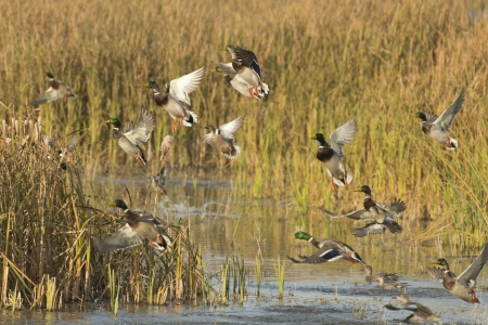 Flock of Ducks Stock Photo