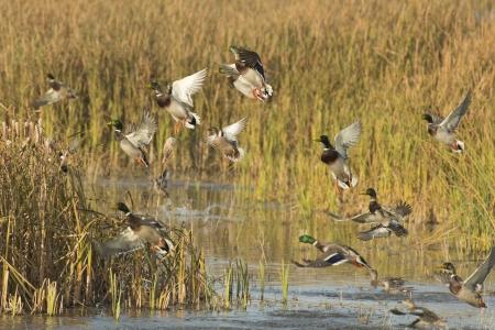 pato real: Multitud de los patos Foto de archivo