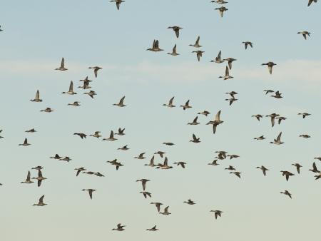 migrating: Migrating Ducks