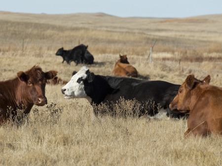 black angus: Beef Cattle in a native pasture