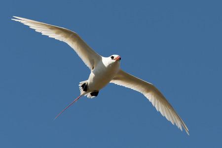 Re-tailed Tropic bird in Hawaii Stock Photo