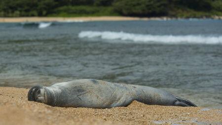 Hawaiian Monk Seal in Kauai