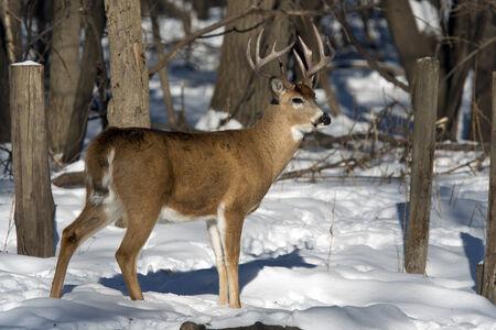 Winter Whitetail photo