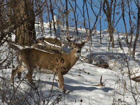 white tailed deer: Winter Whitetail