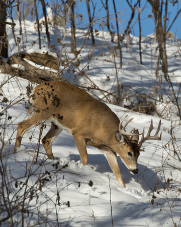 venado cola blanca: Caminar Deer Foto de archivo