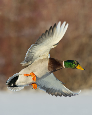 Mallard in flight Stock fotó - 25903324