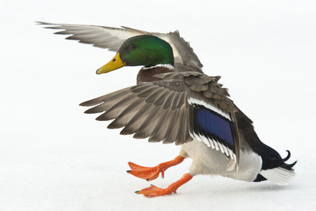 Crash landing duck