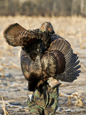 gobble: Turkey Hunting Stock Photo