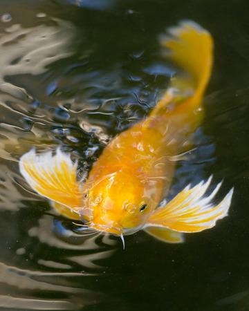 Fancy Koi Fish photo