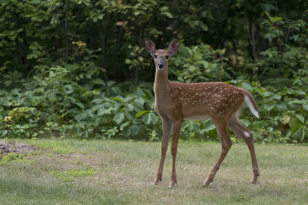 Young Fawn Whitetail Deer
