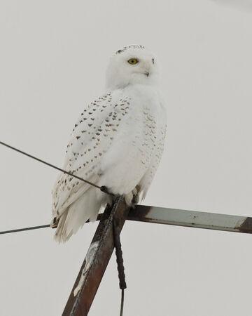 Snowy Owl 版權商用圖片