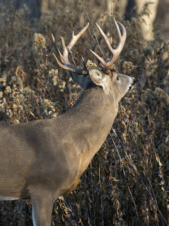 white tailed deer: Whitetail Buck