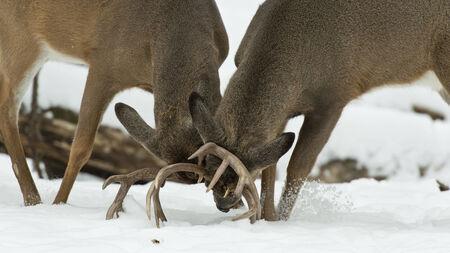 rutting: Pair of Wild Deer Fighting