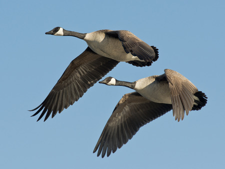 a pair: Pair of Geese Stock Photo