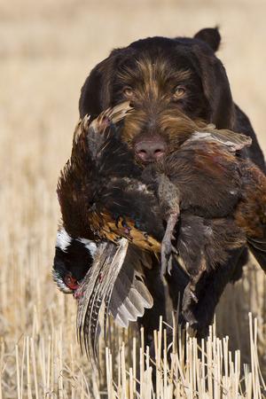 Fazant Hunting Stockfoto - 36007270
