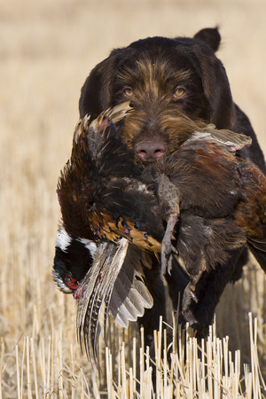 wirehaired: Pheasant Hunting