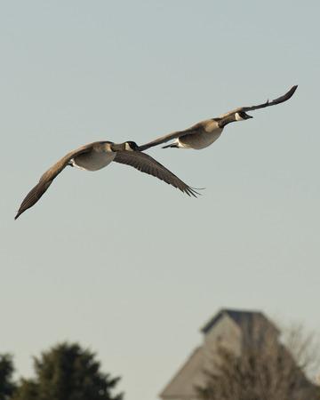 flying geese: Pair of Flying Geese