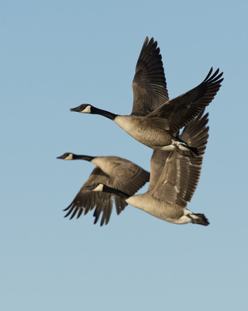 canada goose: Flock of Geese