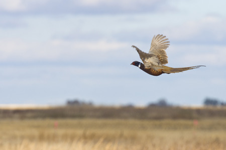 prairie: Flying Pheasant