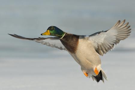 pato: Volar Pato Mallard Foto de archivo