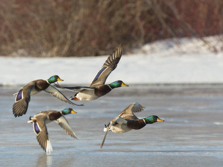 Flock of Mallard Ducks 스톡 콘텐츠