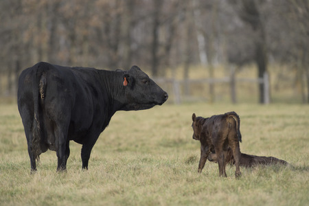 black angus cattle: Cow and Calf Stock Photo