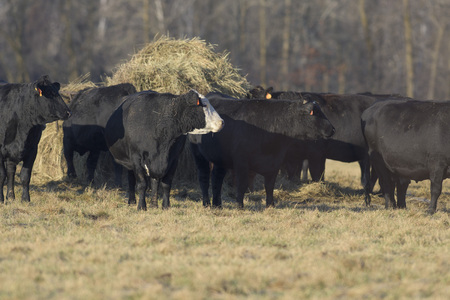 black angus cattle: Angus Beef Cattle