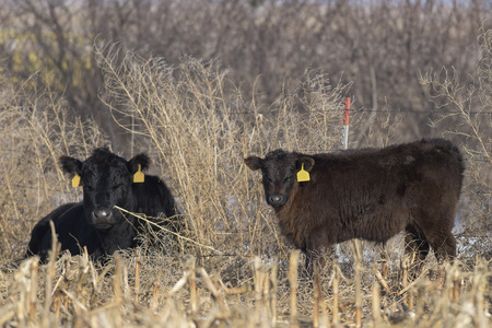 black angus cattle: Beef Cattle