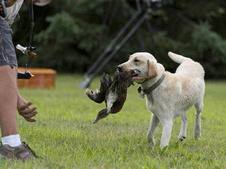 yellow yellow lab: Yellow Lab with a duck Stock Photo