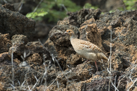 kuropatwa: frankolin indyjski