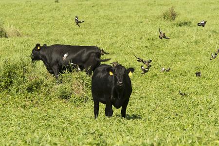 pastures: Hawaiian Beef Cattle