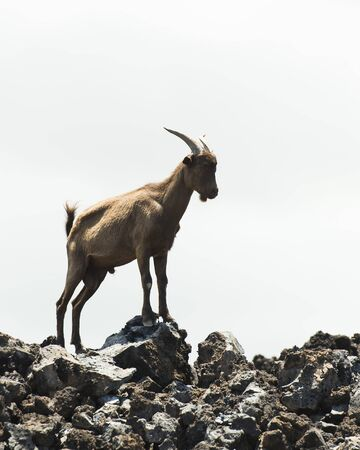 introduced: Wild Billy Goat Stock Photo