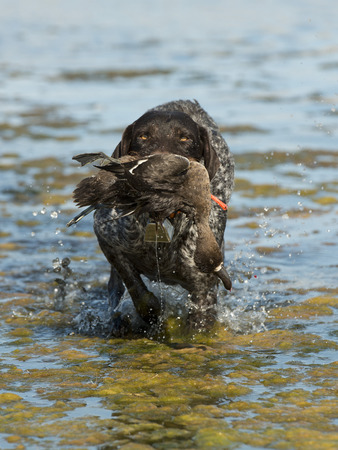 scaup: Hunting Dog Retrieving a Duck