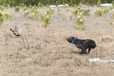 wirehair: Hunting dog and a Pheasant
