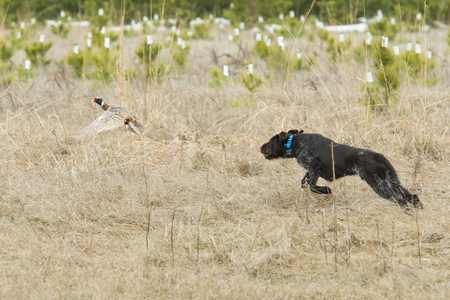 wirehair: Hunting Dog Chasing a Pheasant