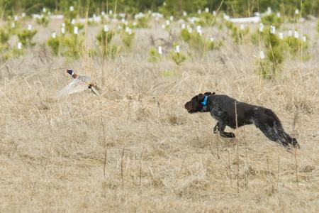 Hunting Dog Chasing een Fazant Stockfoto