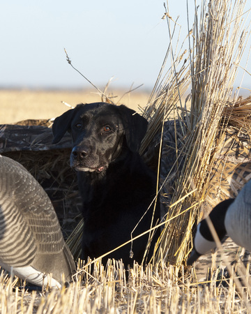 black lab: Black Lab in a hunting blind