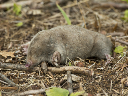 varmint: Mole Stock Photo