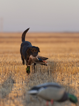 decoy: Black lab with a Mallard Duck