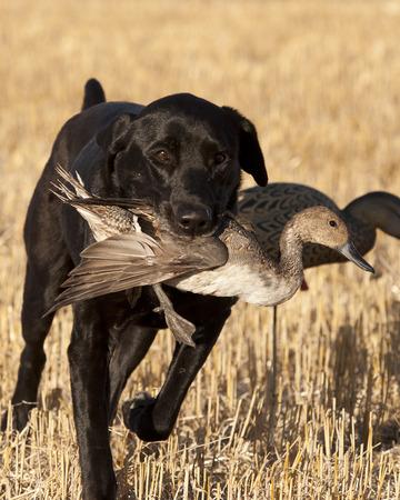 Chien de chasse  Banque d'images - 61397291