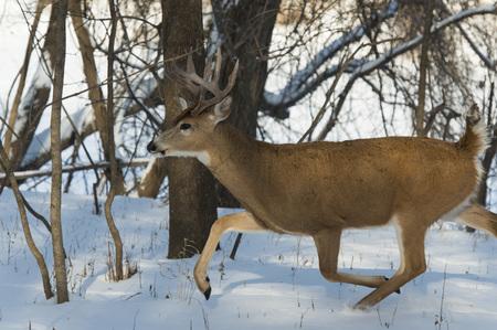 michigan snow: Running Whitetail Deer